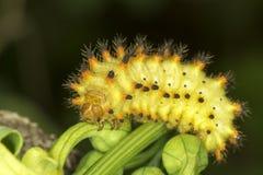Oruga de la mariposa del adorno de Soutern/polixena de Zerynthia Fotos de archivo libres de regalías