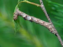 Oruga de la mariposa del Geometridae de la familia. Imágenes de archivo libres de regalías