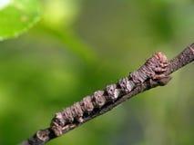 Oruga de la mariposa del Geometridae de la familia. Foto de archivo