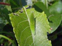 Oruga de los ilia del Apatura de la mariposa. Foto de archivo