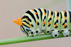Oruga de los machaon de Papilio Foto de archivo libre de regalías