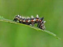 Oruga de los rumicis de Apatele de la mariposa. Imágenes de archivo libres de regalías