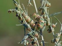 Oruga del absinthii de Cucullia de la mariposa. Fotografía de archivo libre de regalías