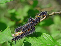 Oruga del antiopa del Nymphalis de la mariposa. Imagenes de archivo