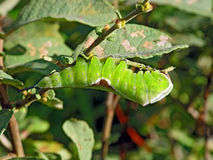 Oruga del erminea de Cerura de la mariposa. Foto de archivo