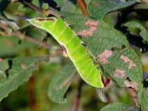 Oruga del erminea de Cerura de la mariposa Fotos de archivo