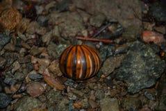 Oruga del insecto encrespada para arriba en las piedras Borneo, Malasia Fotografía de archivo libre de regalías