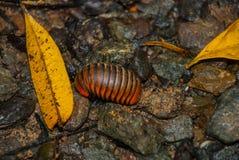Oruga del insecto encrespada para arriba en las piedras Borneo, Malasia Fotos de archivo libres de regalías