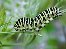 Oruga del machaon de Papilio de la mariposa. Fotos de archivo libres de regalías