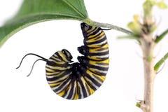 Oruga del monarca Foto de archivo libre de regalías
