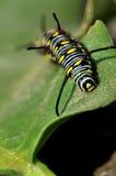 Oruga del monarca Fotos de archivo