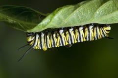 Oruga del monarca Fotografía de archivo libre de regalías