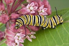 Oruga del monarca en el milkweed c Foto de archivo libre de regalías