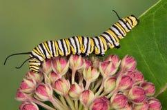 Oruga del monarca en los brotes del milkweed imagen de archivo libre de regalías