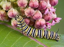 Oruga del monarca en milkweed imagen de archivo
