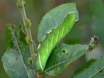 Oruga del populi de Laothoe de la mariposa en un sauce. Fotos de archivo libres de regalías