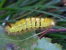 Oruga del pudibunda de Dasychira de la mariposa. Fotografía de archivo