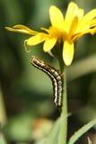 Oruga en la flor Fotos de archivo libres de regalías