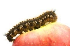 Oruga en la tapa de una manzana roja Foto de archivo