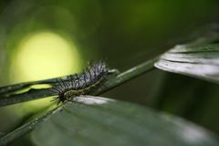 Oruga exótica verde que sube en una licencia - Matagalpa Nicaraguaeave - Matagalpa Nicaragua foto de archivo libre de regalías