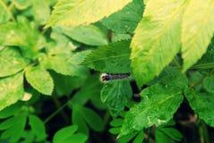 Oruga negra peluda en las hojas de un árbol Fotos de archivo