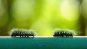 Oruga peluda macra que camina en la barra de acero y la falta de definición verde detrás Fotografía de archivo libre de regalías