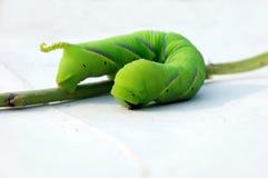 oruga verde Imágenes de archivo libres de regalías