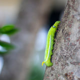 Oruga verde Foto de archivo