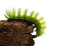 Oruga verde asustadiza Fotografía de archivo libre de regalías