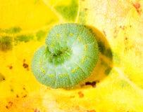 Oruga verde de una mariposa Foto de archivo libre de regalías