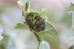 Orugas blancas de la mariposa Imágenes de archivo libres de regalías