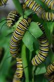 Orugas de la mariposa de monarca Imagenes de archivo