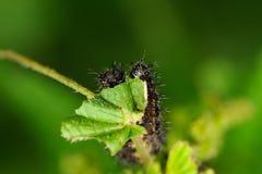 Orugas de la mariposa del mapa Foto de archivo libre de regalías