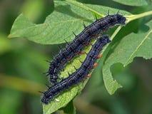 Orugas de la mariposa del Nymphalidae de la familia. imagen de archivo