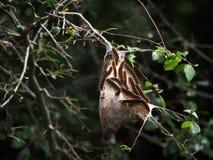 Orugas de tienda en árbol Fotografía de archivo