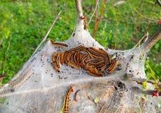 Orugas de tienda en árbol Foto de archivo