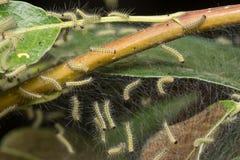 Orugas del parásito, malinella de Hyponomeuta Foto de archivo