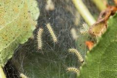Orugas del parásito, malinella de Hyponomeuta Imagenes de archivo