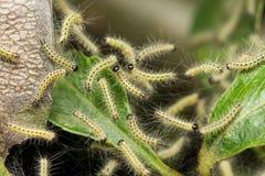 Orugas del parásito, malinella de Hyponomeuta Imagen de archivo libre de regalías