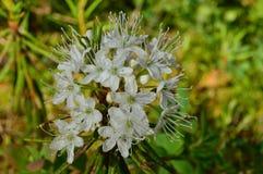Orvalhe à vista da luz solar nas flores brancas dos alecrins selvagens Fotografia de Stock Royalty Free