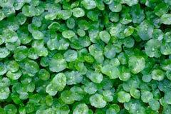 Orvalhe as gotas nas folhas verdes, gotas da água após a folha do verde da chuva Fotografia de Stock