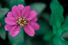 Orvalho cor-de-rosa foto de stock