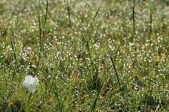 Orvalho da manhã e flor branca, África Fotos de Stock Royalty Free