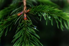 Orvalho da manhã na árvore de Natal Imagens de Stock