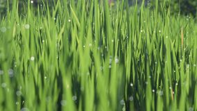 Orvalho da manhã na mudança do foco do campo de almofada do arroz vídeos de arquivo
