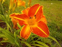Orvalho da manhã no lírio no jardim Imagens de Stock Royalty Free