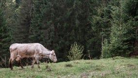 Orvalho da névoa da manhã do pasto das vacas Imagem de Stock