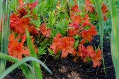 Orvalho denso da manhã do fim da flor da flor do rododendro Fotos de Stock