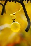 Orvalho em uvas Imagem de Stock
