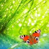 Orvalho fresco da manhã em uma grama e em uma borboleta da mola. Fotos de Stock Royalty Free